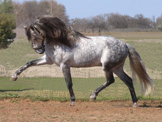 razas de caballos andaluz