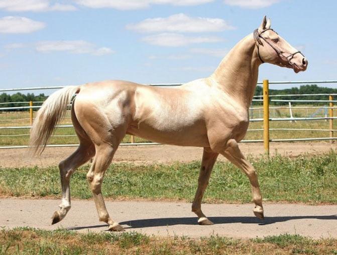 razas de caballos arabe dorado