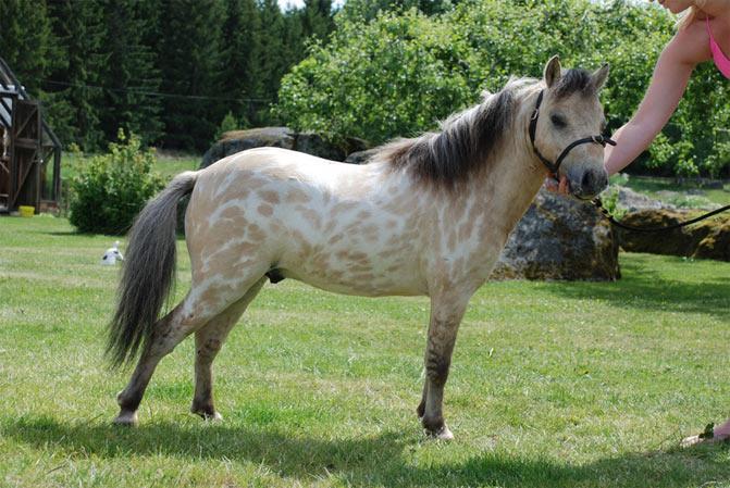 razas de caballos caballo miniatura