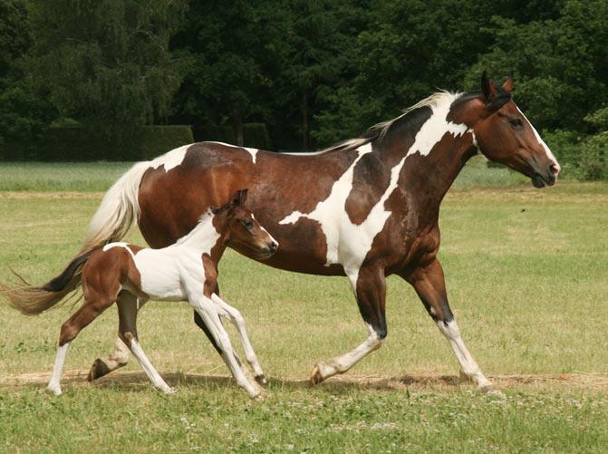 razas de caballos paint horse