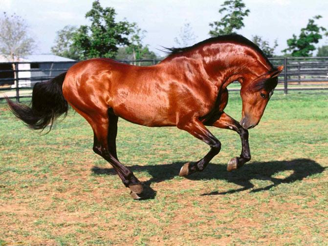 razas de caballos pura sangre