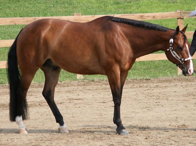 razas de caballos quarter horse
