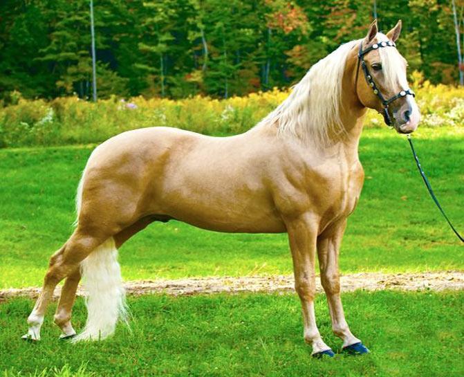 razas de caballos tennesse