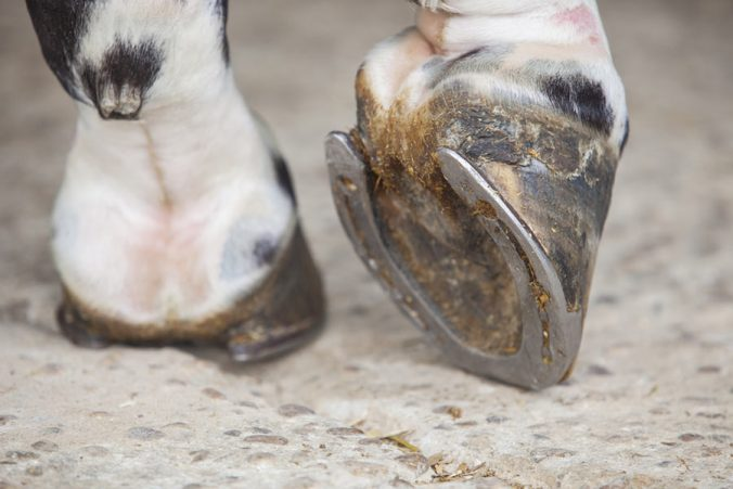Enfermedades en los cascos de los caballos